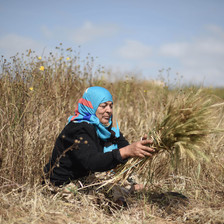 Sitting woman bundles herbs in field